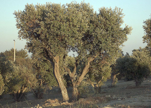 Olea europea scheda tecnica allergeni olivo anallergo for Alberi simili alle querce