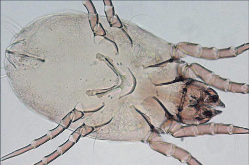 Dermatofagoide farinae - Scheda tecnica allergeni ...